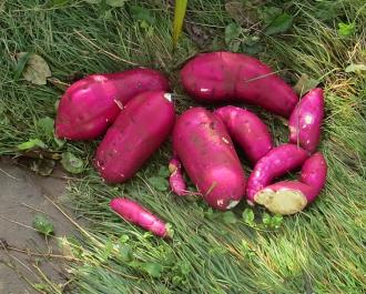 サツマイモ新品種「ベニハルカ」
