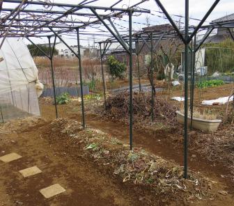 ヤマイモ播種後の畝1月