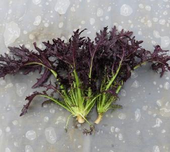 コーラルリーフ収穫物