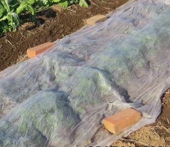 チジミホウレンソー、パオパオベタかけ栽培1月