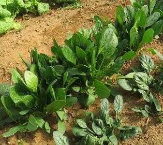 サラダ用ホウレンソウ菜園ビニールハウス2月