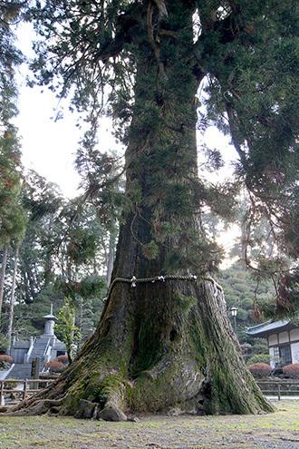171128鴨川市清澄の大杉④