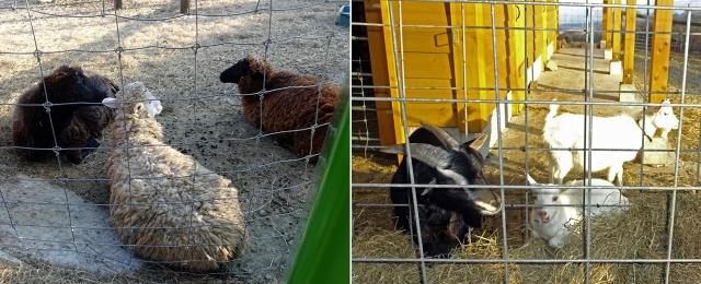 24羊とヤギ