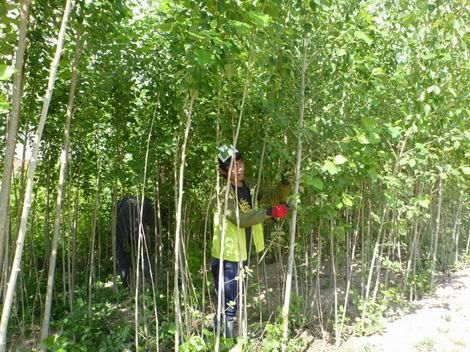 中国クブチ砂漠 緑化基地内のポプラの苗木(470x352)