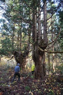 s-綱木の天然台杉