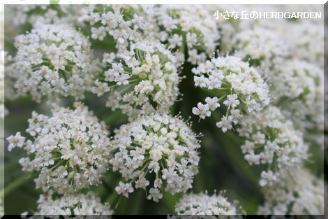 470 金時ニンンジの花