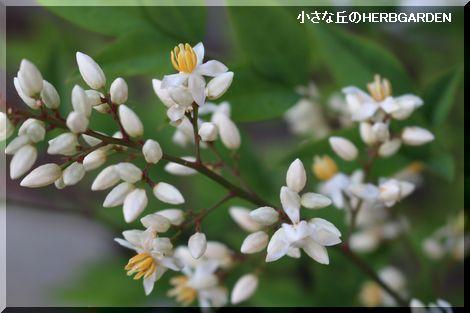 470 南天の花