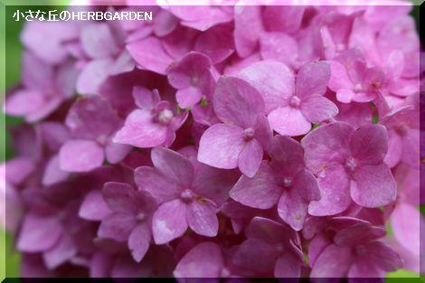 470 ピンク色のアジサイ