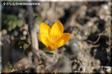 470 クロッカス 一番咲き
