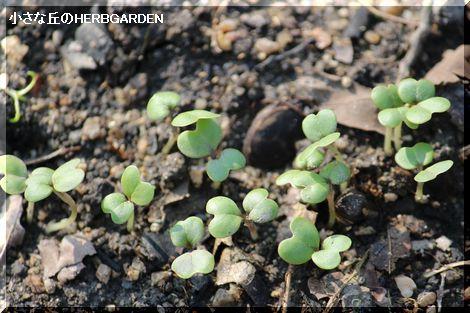 470 カブの芽 発芽したで