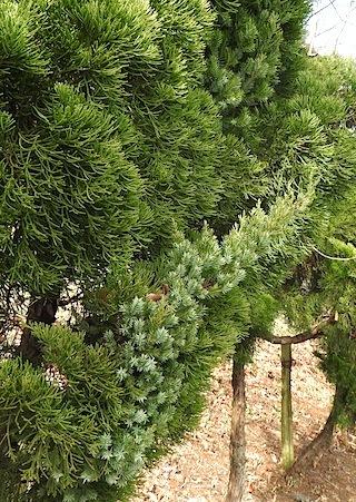ビャクシン属の植木