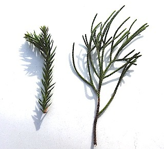 ビャクシン属の植木の葉の二型