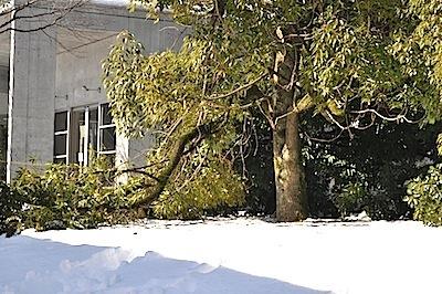 雪で折れたクスノキ
