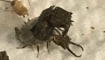 ツノトンボ3齢幼虫に脱皮1