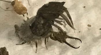 ツノトンボ3齢幼虫に脱皮2