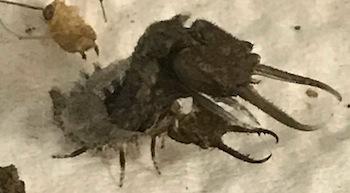 ツノトンボ3齢幼虫に脱皮