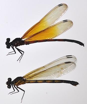 Euphaea sanguinea Kompier et Hayashi, 2018