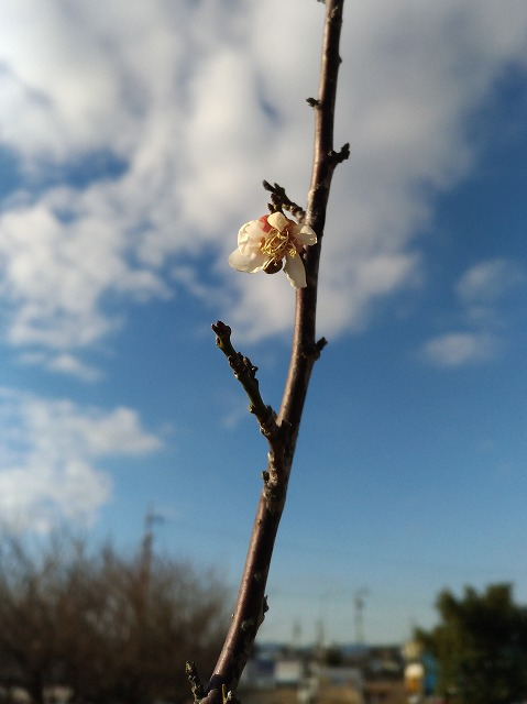500梅の花180130