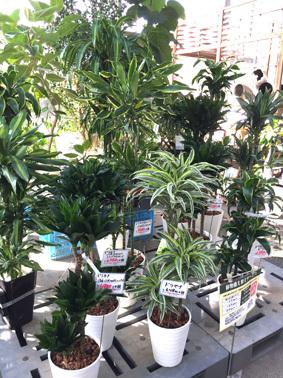 観葉植物a