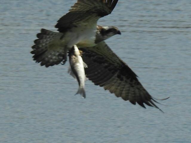 ミサゴ漁21 (5)