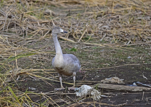 オオハクチョウ幼鳥3 DSC_036