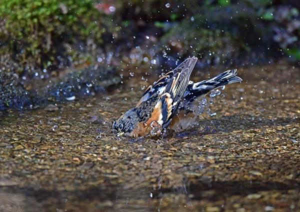アトリ水浴び1 DSC_0357