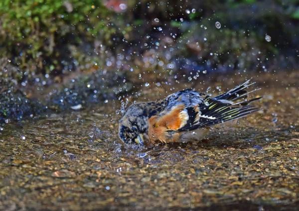 アトリ水浴び2 DSC_0371