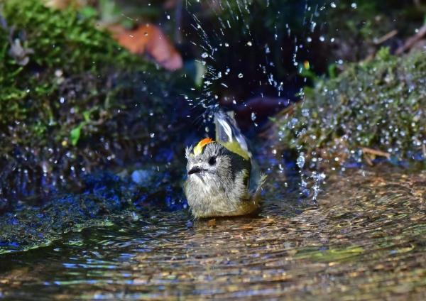 キクイタダキ4水浴び DSC_005