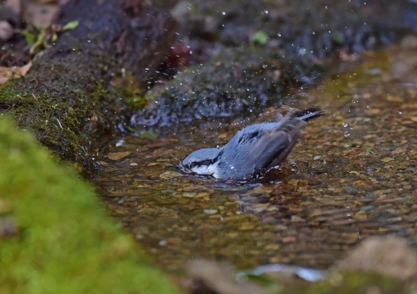 ゴジュウカラ8水浴び DSC_018
