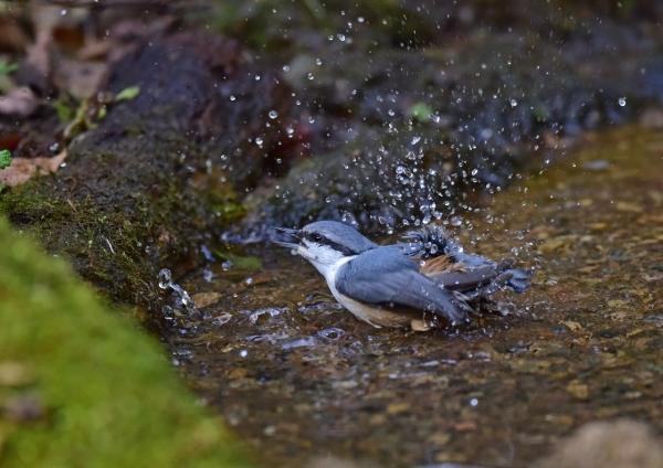 ゴジュウカラ9水浴び DSC_019