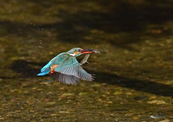 カワセミ飛出餌2- DSC_0367