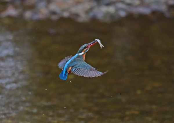 カワセミ飛出餌3 DSC_0181