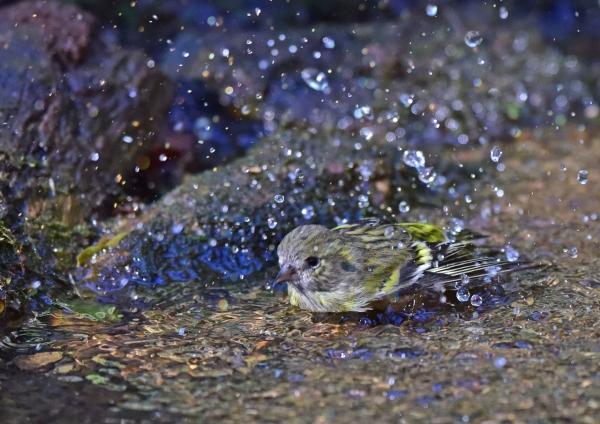 マヒワ水浴び2 DSC_0286
