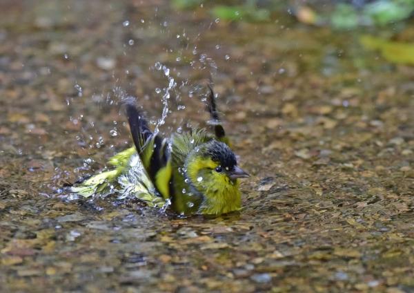 マヒワ水浴び5 DSC_0204