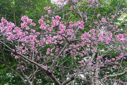 花見-b P1170805