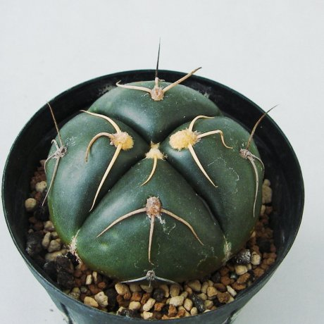 Sany0023--denudatum--GF 54--Bercht seed