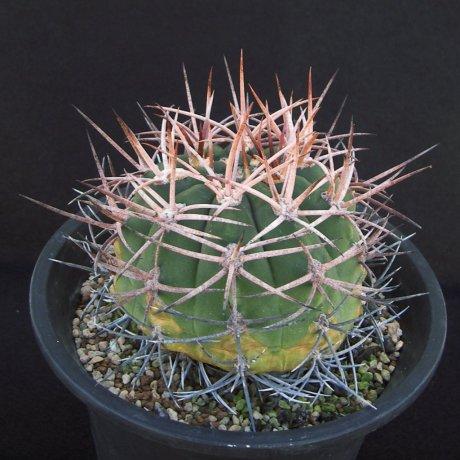 Sany0097--hossei-rhodantherum--P 79--Chilecito--Piltz seed 4224
