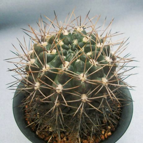 Sany4374-fennellii-P95--Rio Colorado, Buenos Aires--mesa465.9