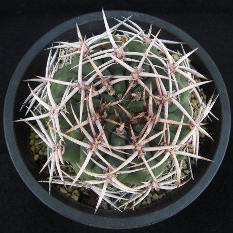 Sany0134--hybopleurumv ferocior--STO 866--Mesa seed