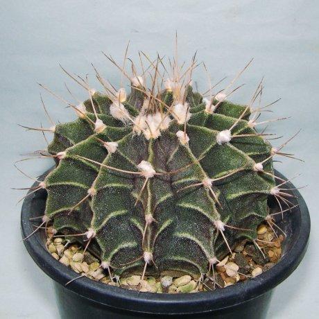 Sany0012--friedrichii--VoS 03-064--Ipitacuape north, Santa Cruz, Bolivia, 728m --Bercht seed 1693 (2009)