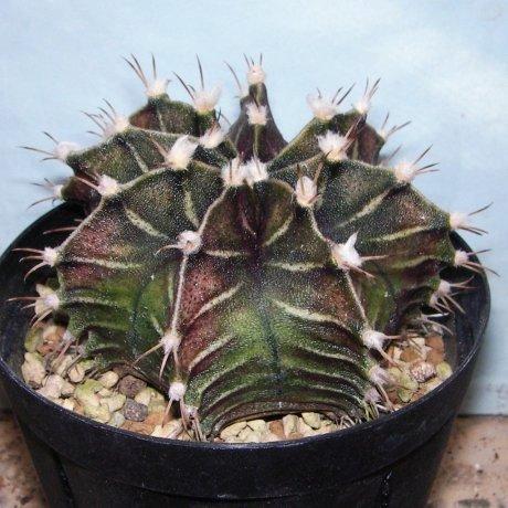 Sany0079--friedrichii--LB 3054--30km North of Patricio Colman 185m, Paraguay--Bercht seed 2572(2012)