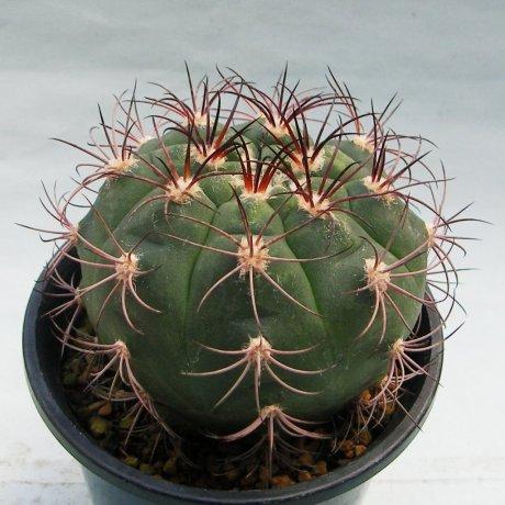 Sany0147--pflanzii v dorisiae--STO 1004--Rio Paichu 2300m Tarija Bolivia--Amerhauser seed (2009)