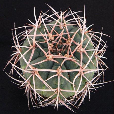 Sany0139--catamarcense ssp schmidianum--.GN 665-1825--ex Eden