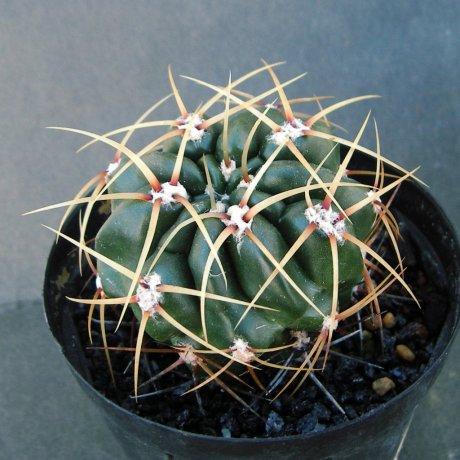 Sany0174--monvillei ssp safronovii--Tom 12-560.1--W Salsacate S of Las Chacras 1250m Cordoba--Bercht seed 3399(2014)