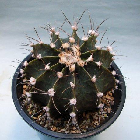 Sany0169--friedrichi moserianum--P 435--Piltz seed 4334