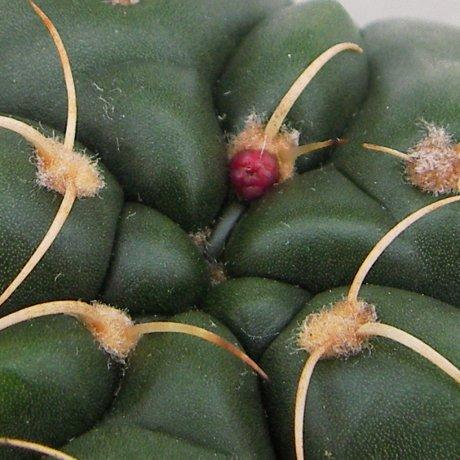 Sany0004--paraguayense--P 447--Piltz seed