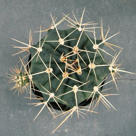 Sany0212--griseopalidum--Piltz seed