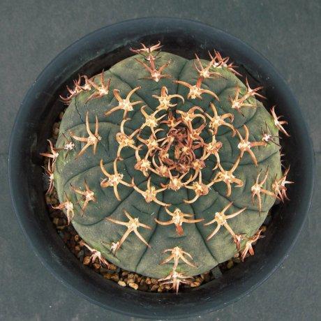 Sany0213--spegazzinii v unguispinum--