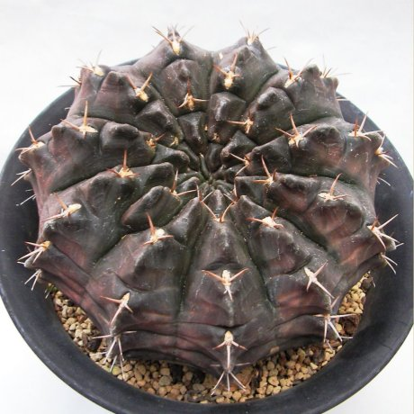 Sany0089--rotundicarpum--2017--Piltz seed 3293