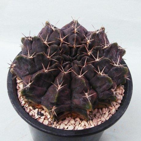 Sany0052--rotundicarpum--2014--Piltz seed 3293